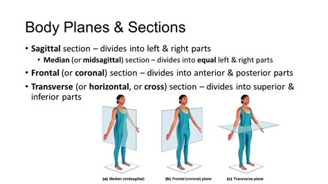 body planes and sections anatomy physiology unit 1 introduction ppt video
