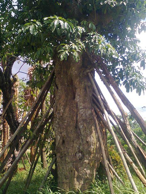 ubay landscape pule pohon raksasa peneduh