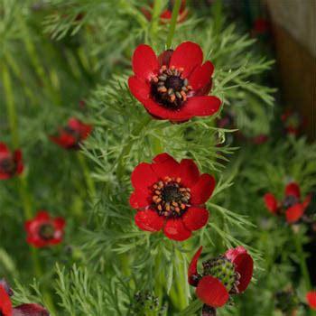 pheasant s eye seeds adonis aestivalis flower seed