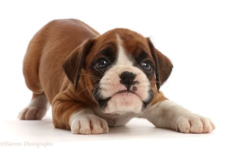 6 week boxer puppy puppy boxer dogs pictures breeds picture