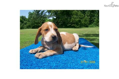 redtick coonhound puppies coonhound puppy for sale near joplin missouri 95cfe911 5cf1