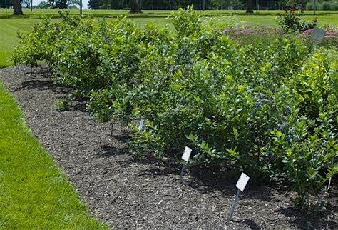 Blueberry Garden by Blueberry Varieties Melda C Snyder Teaching Garden Gallery