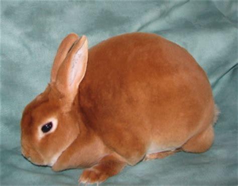 mini rex rabbit colors mini rex color guide wildriver rabbitry