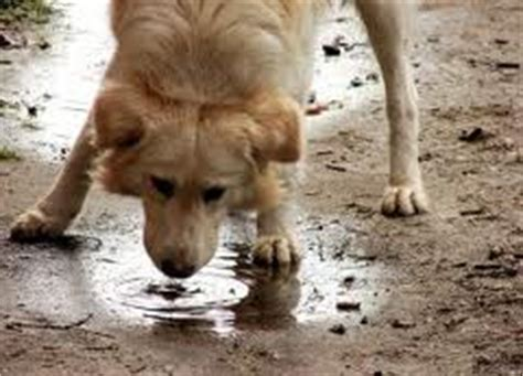 lepto in dogs leptospirosis in michigan worms germs