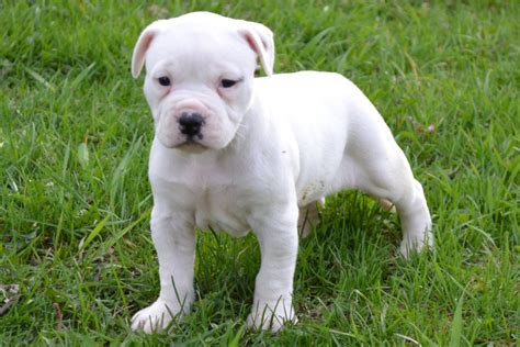 puppies bulldogs bulldog puppy for sale american bulldog puppies for sale bruiser