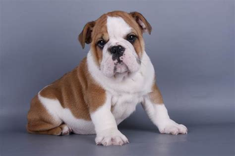 free bulldog puppies nc pets cornelius nc free classified ads
