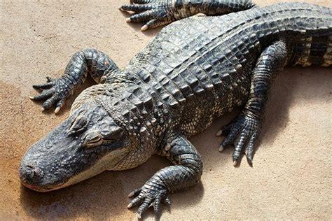 Krokodil oder Alligator - Wo ist der Unterschied?