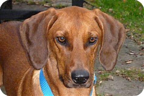 redbone coonhound golden retriever mix beau adopted williston vt redbone coonhound labrador retriever mix