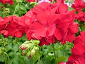 romantic flowers geranium flower