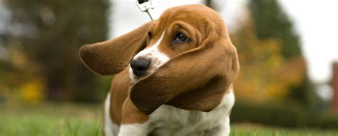 ear infection remedies for dogs ear infection symptoms and home remedy treatment for ear breeds picture