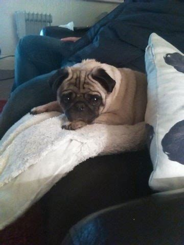 pugs for sale in delaware pug for sale prescot merseyside pets4homes