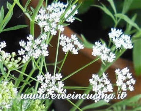 fiori di anice erbe in cucina coltivare l anice