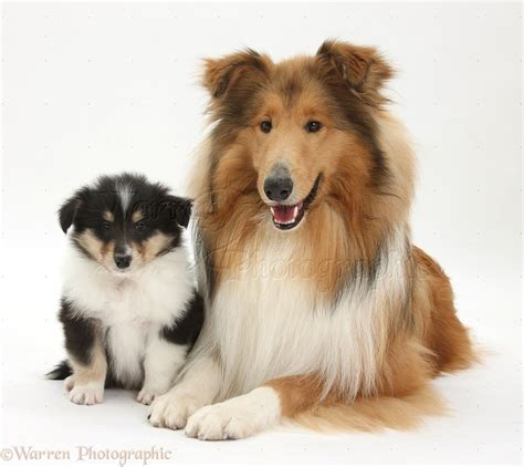 collie puppy pictures smooth collie pictures posters news and on your pursuit hobbies interests