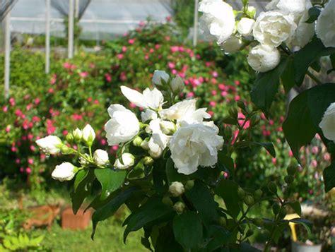 arbusti fioriti da giardino arbusti fioriti il roseto