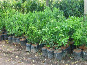 13 cara menanam jeruk nipis agar cepat berbuah lebat ilmubudidaya com