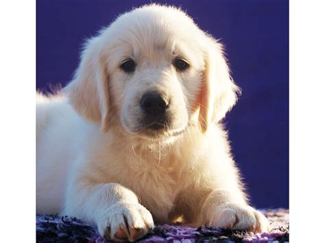 golden retriever puppies for sale in grand rapids michigan golden retriever puppies sale dogs in our photo