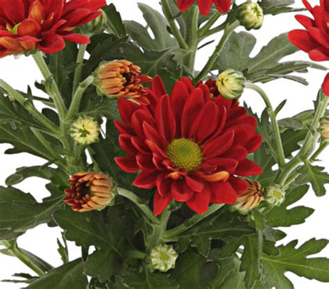 garten chrysantheme garten chrysantheme dehner garten center
