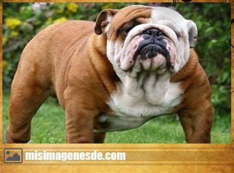 imagenes graciosas bulldog ingles bulldog ingles im 225 genes