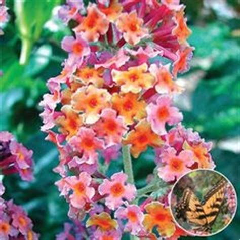 multi colored butterfly bush buy butterfly bush buddleja davidii black delivery
