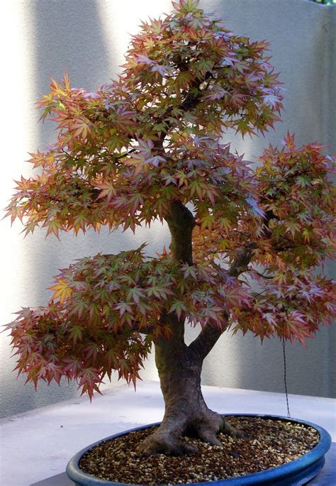 bonsai with japanese maples best 25 acer palmatum ideas on acer acer trees and japanese maple garden