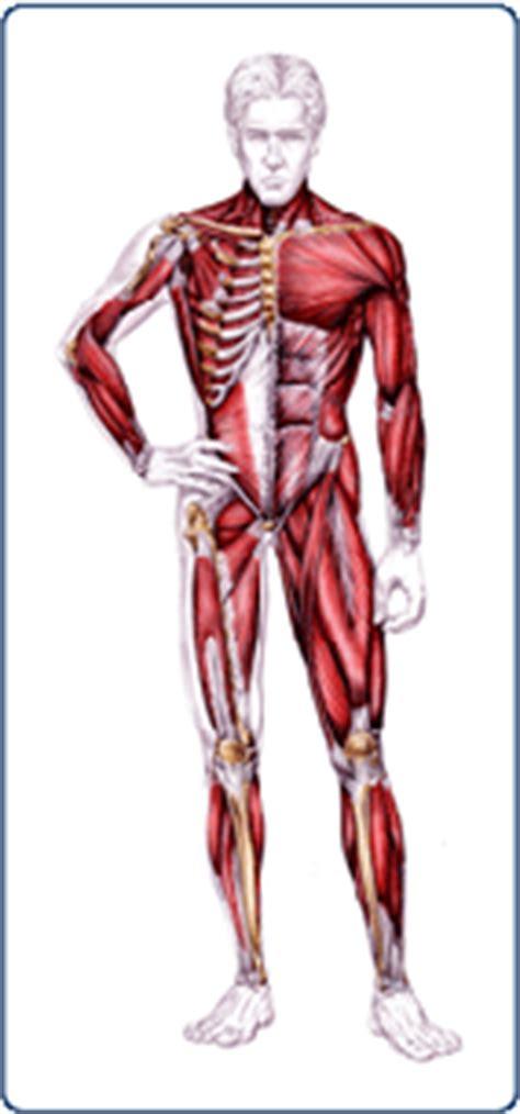 tavola anatomica tavola anatomica muscolo scheletrico compozione coorporea