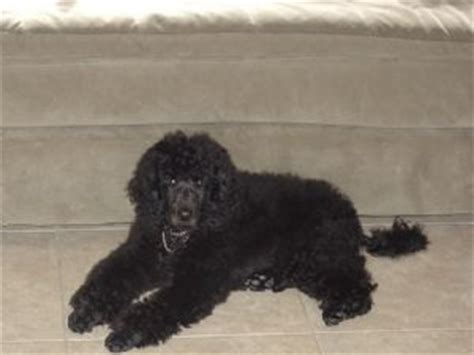 standard poodle puppies for sale florida standard poodle puppies for sale in florida