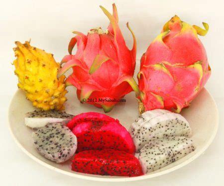 Bibit Buah Naga Merah Pilihan 9 langkah menanam buah naga cepat berbuah dan panjang umur