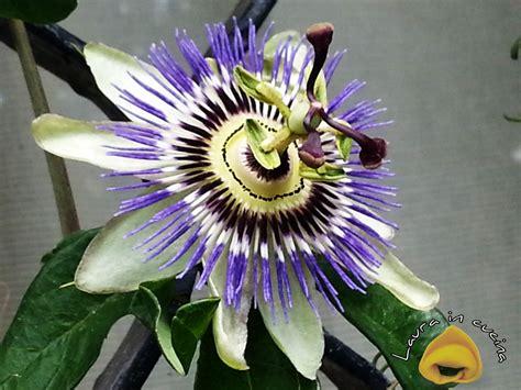 fiori tropicali nomi granadilla o granatella un frutto sub tropicale in