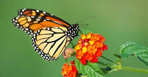 farfalla fiore sognare farfalle interpretazione numeri sognipedia it