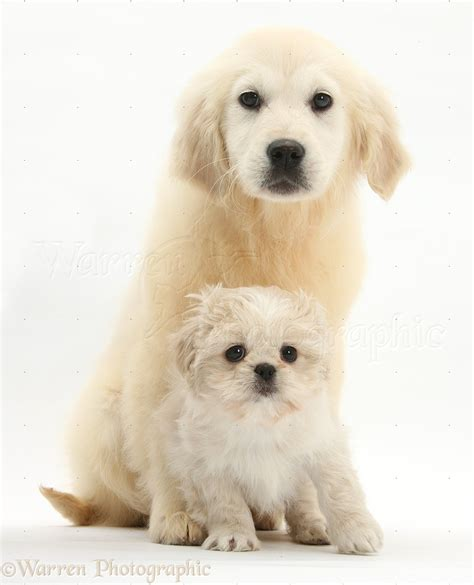 shih tzu and golden retriever golden retriever pup with shih tzu pup breeds picture