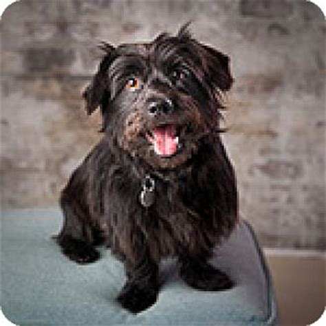 shih tzu rescue glasgow flower mound tx shih tzu scottie scottish terrier mix meet barley a for adoption