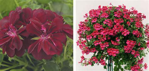 New Rosita Magenta geraniums new for 2014 babyplants