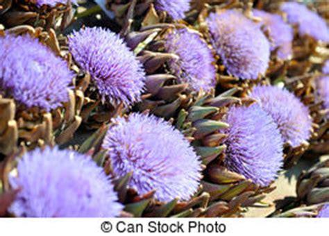 carciofo fiore fiore viola carciofo fiore colpo viola macro globo
