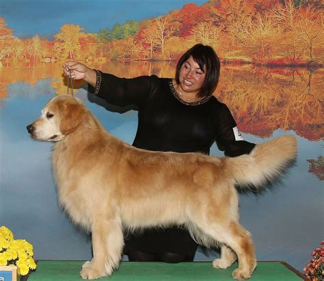 golden retriever buy buy golden retriever usa photo