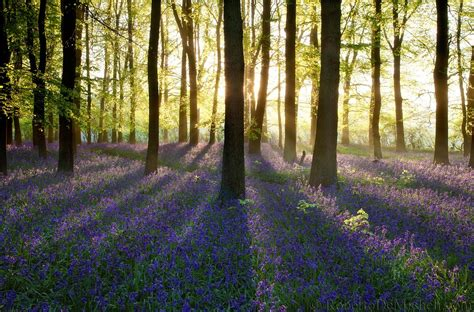 bluebell forest uk119 bluebells bloom at sunrise dockey wood ashridge