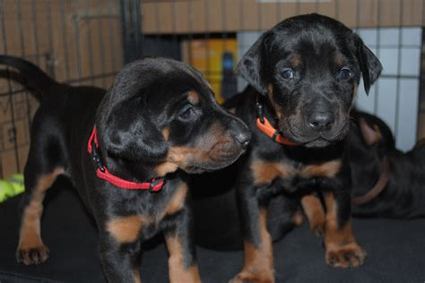 doberman puppies for sale in doberman puppies for sale woking surrey pets4homes