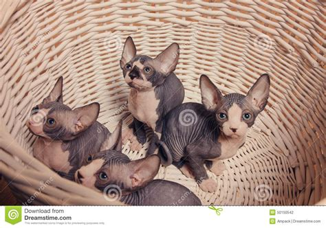 Gray Sphynx Kittens Inside A Basket Looking Up Stock Photo