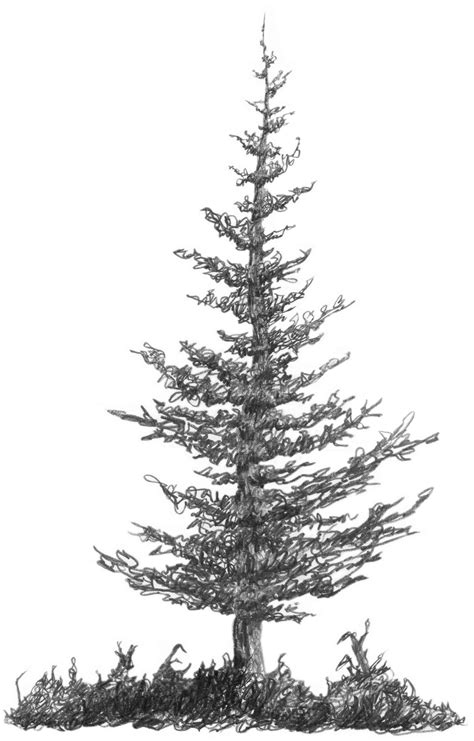 draw realistic christmas trees 3 2 a2 squirkle a realistic spruce tree drawspace