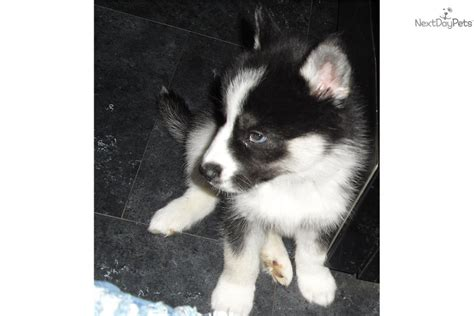 husky puppies for sale in nj akc siberian husky puppies for sale in nj gnewsinfo