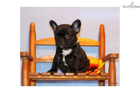 free puppies in tri cities frenchton bulldog puppy hybrid bulldog puppy for sale near tri cities