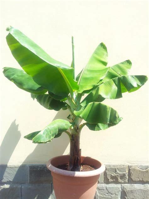 banano in vaso banano nano musa consigli coltivazione e cura