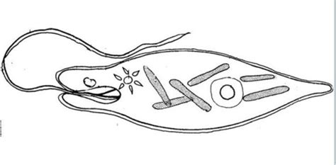 Coloring Pages Euglena | euglena coloring diagram labeled coloring pages
