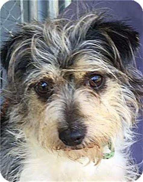sc yorkie rescue cinderella adopted summerville sc yorkie terrier schnauzer