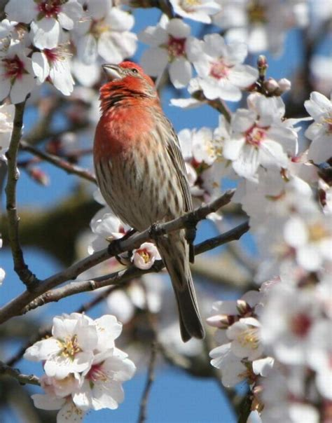 house finch facts celebrate urban birds