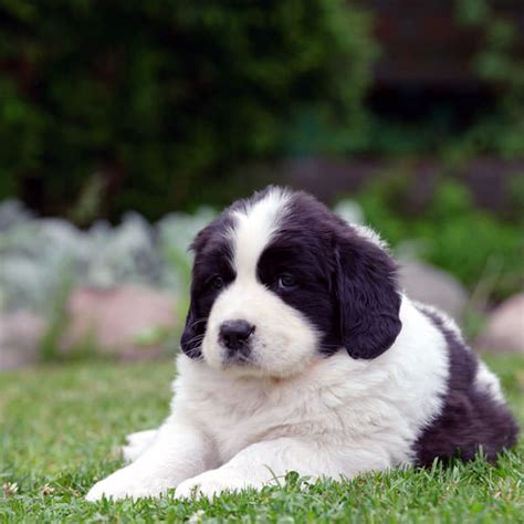 puppy pictures supersize your with these newfoundland puppy pictures