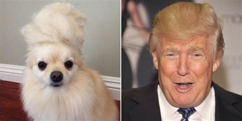 donald trump dog how your dog can look like donald trump fellowship of