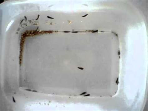 silverfish in bathroom silverfish what do they do youtube
