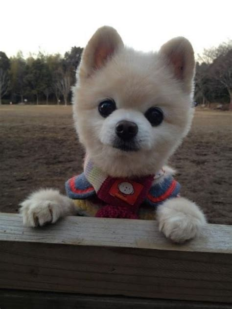 pomeranian that looks like a teddy new haircut what a cutie looks like our
