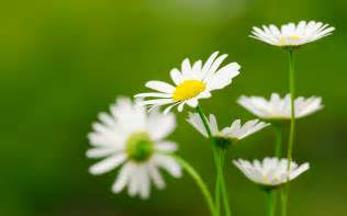 hd flower images daisy flower wallpapers hd pictures one hd wallpaper