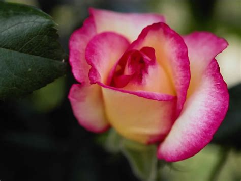 rose flower images wallpaper gallery rose flower wallpaper 5